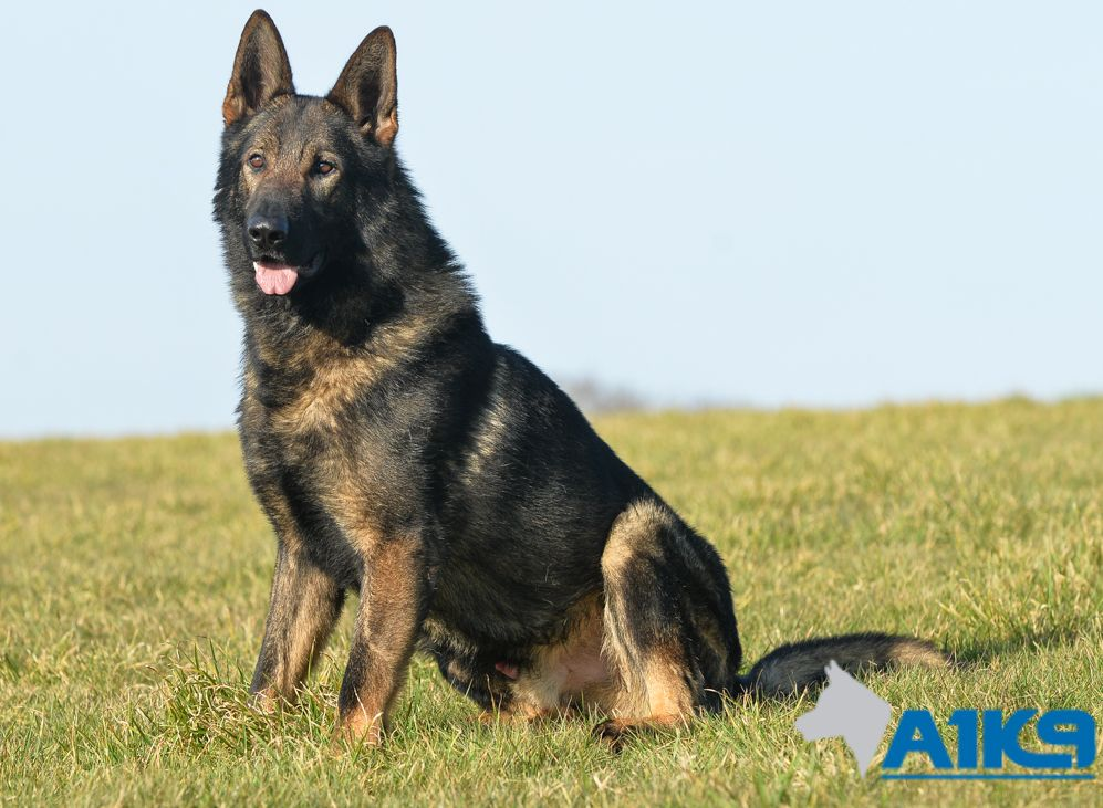Trained Protection Dogs For Sale Uk