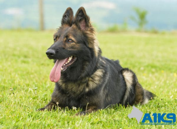 Zara Zara A1K9 family protection dog down 3920