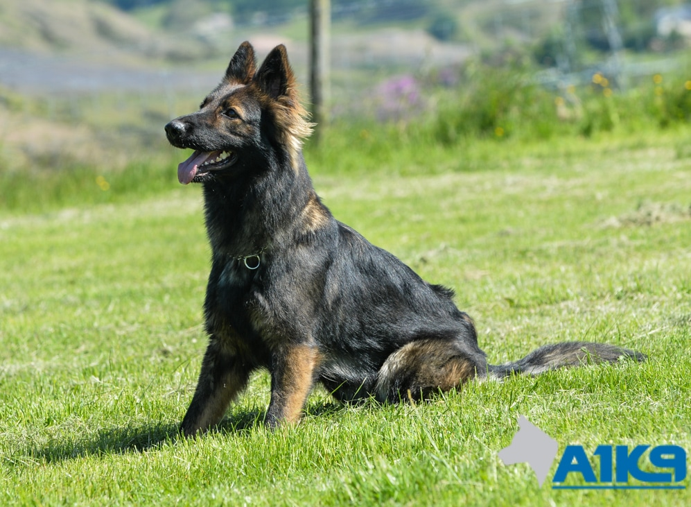 Trained Protection Dog For Sale Uk