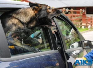 A1K9 family protection dog anti carjacking 2874