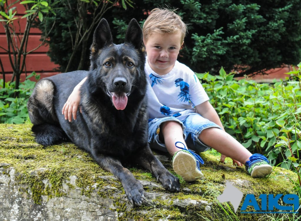 A1K9 family protection dog childs friend 2891