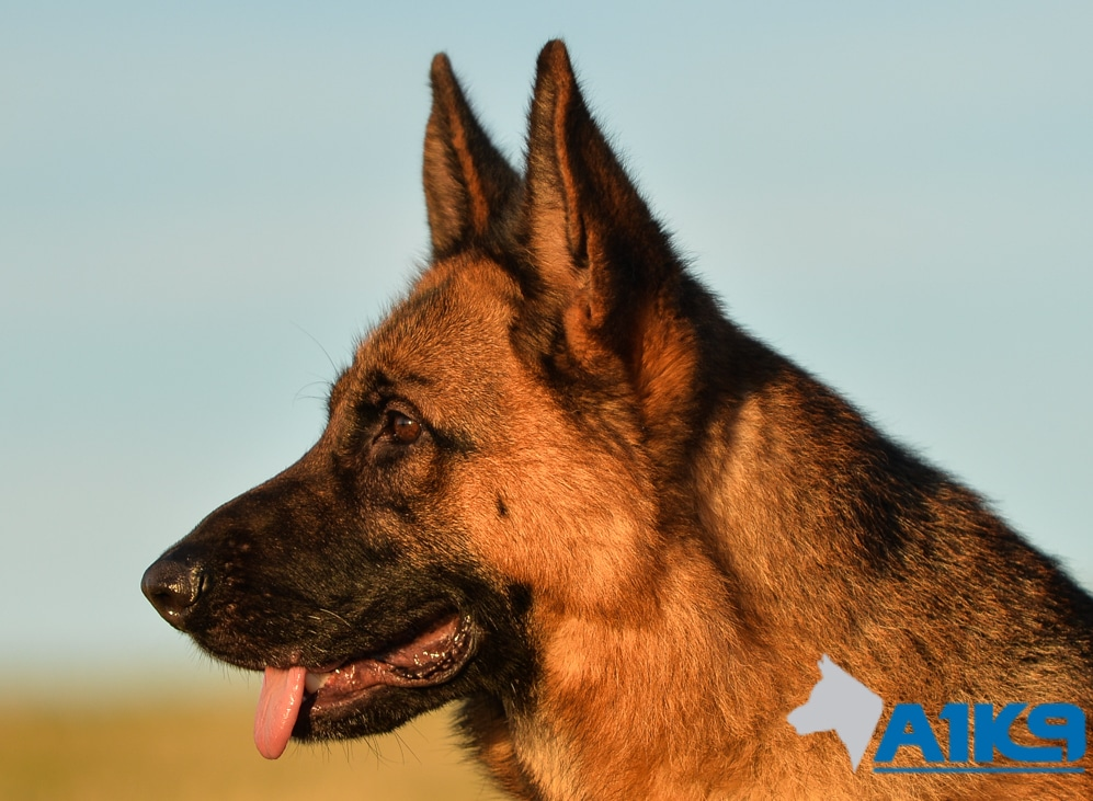 Trained Family Protection Dog Merci A1k9 174 Family