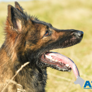 Zara A1K9 family-protection dog 8256