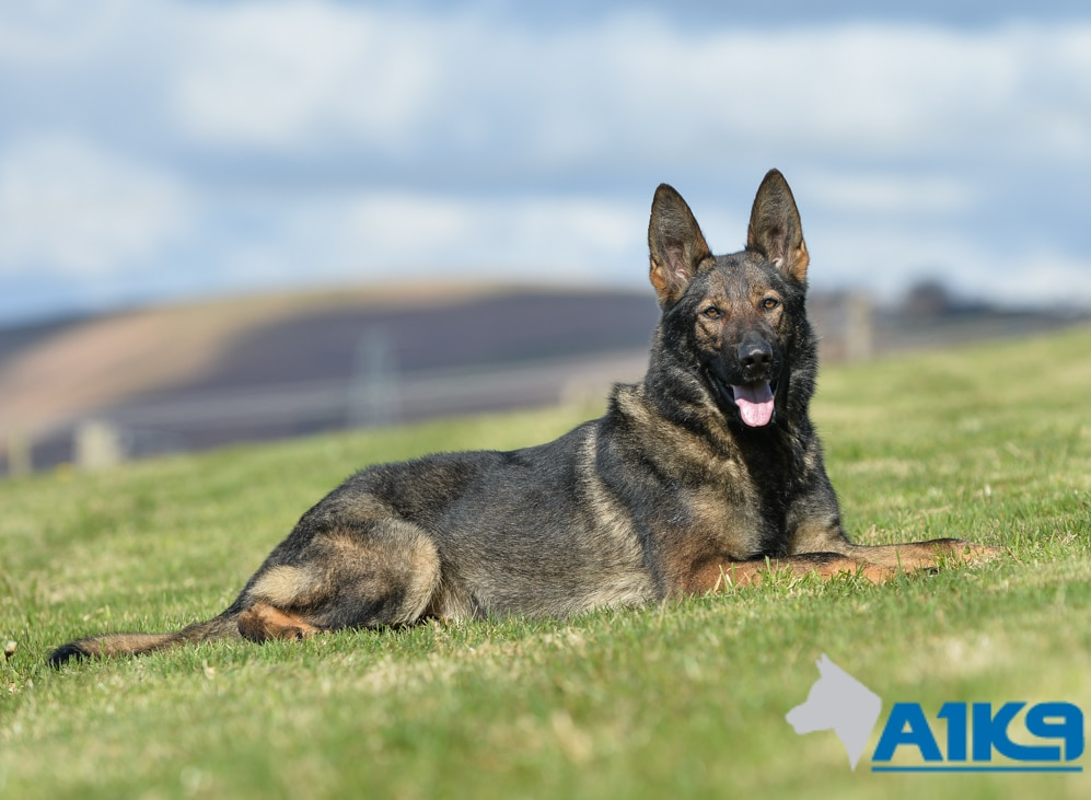 Trained Family Protection Dog Bessy A1k9 174 Family