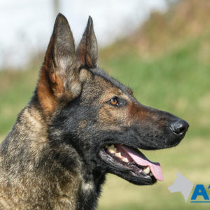 A1K9 Family Protection Dog Bessy Head