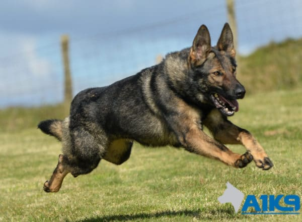 A1K9 Family Protection Dog Bessy Running