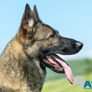 A1K9 Family Protection Dog Certi Head