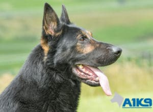 A1K9 Family Protection Dog Griff Head 3441