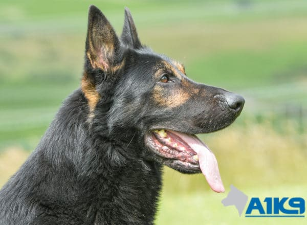 A1K9 Family Protection Dog Griff Head