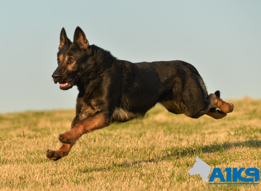 Trained Family Protection Dog Sold Griff A1k9