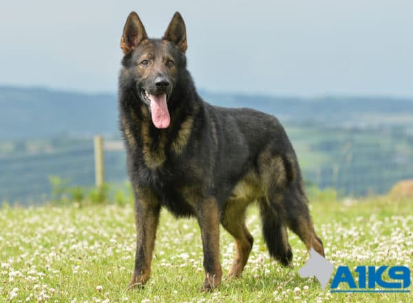 A1K9 Family Protection Dog Gabris Standing