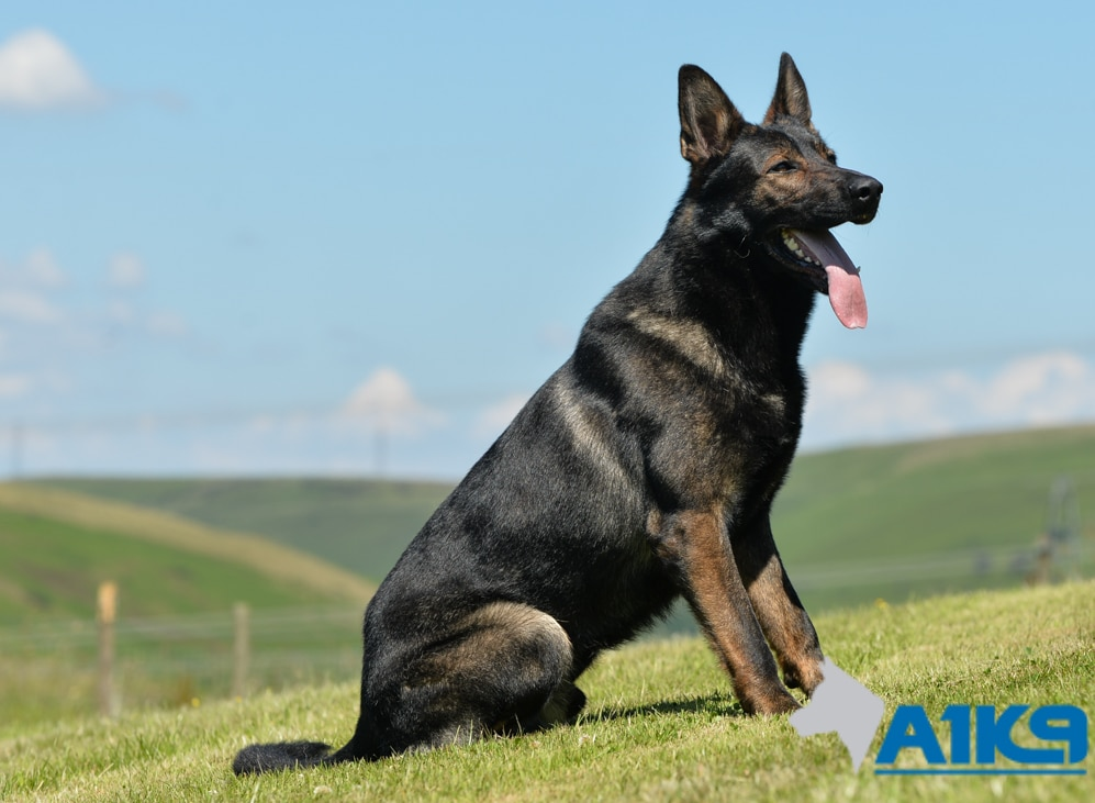 Family Protection Dog Lucky A1k9 174 Family Protection Dogs