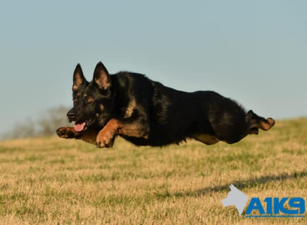 A1K9 Family Protection Dog Tara running.
