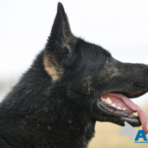 A1K9 Executive Family Protection Dog Champ For Sale at A1K9