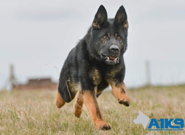 Trained German Shepherd,A1K9 Executive Family Protection Dog Champ.