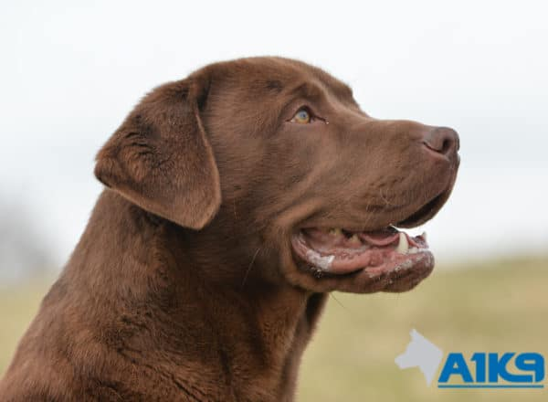 A1K9 Trained Obedient Pet Labrador Rufus