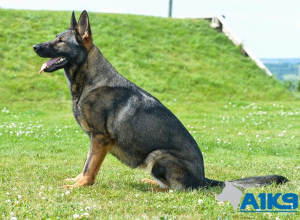 Sura, one of the family protection dogs available at A1K9.