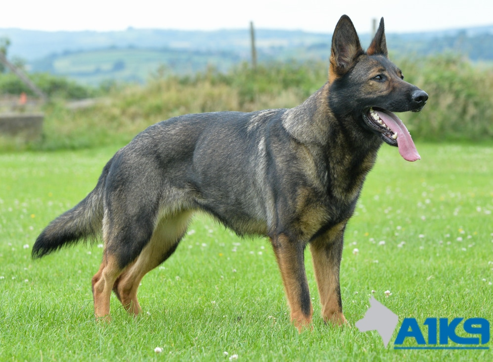 Family Protection Dog Sura A1k9 174 Family Protection Dogs