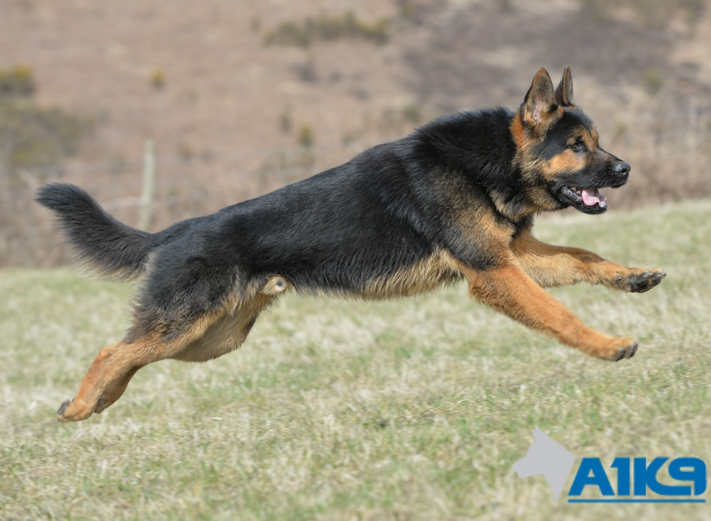 Family Protection Dog For Sale Uk