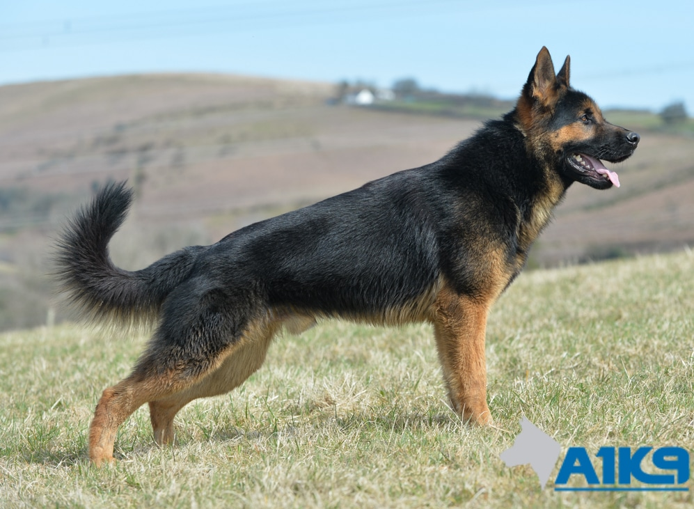 Family Protection Dog Tenno A1k9 174 Family Protection Dogs