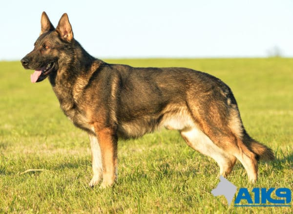 A1K9 Family Protection Dog Amo Stand 5981