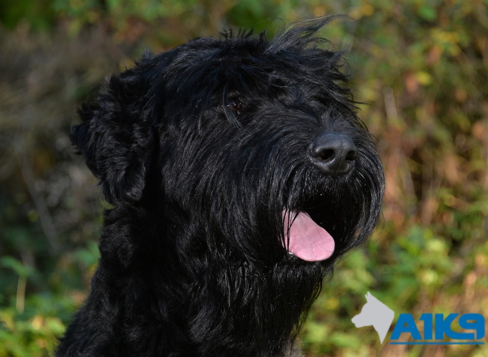 A1K9 Bert trained Giant Schnauzer.