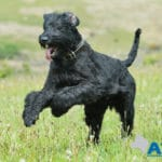 A1K9 Giant Schnauzer protection dog.
