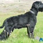Protection trained Giant Schnauzer at A1K9