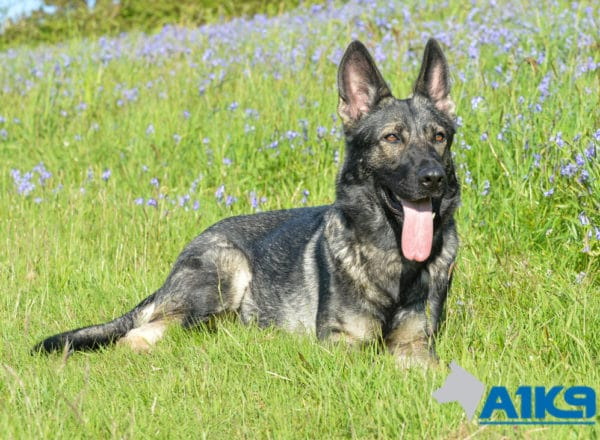 A1K9 Family Protection Dog Bina Down 1282