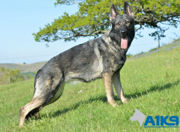 A1K9 Family Protection Dog Bina Stand 1291