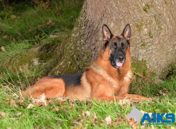 A1K9 Family Protection Dog Cody Down 4922