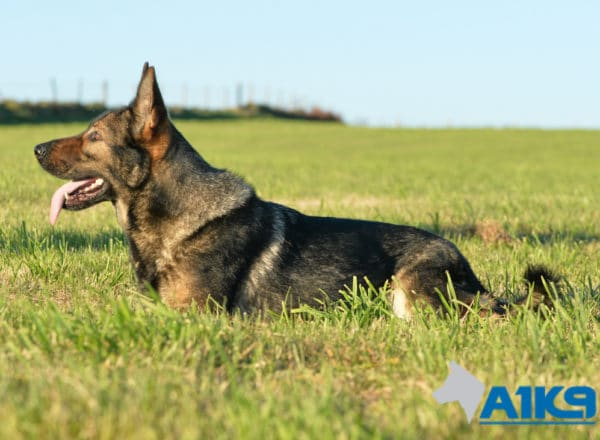 A1K9 Family Protection Dog Engie Down 5917