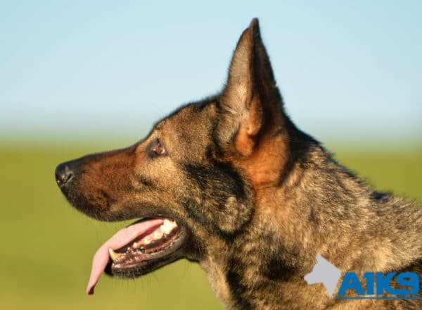 A1K9 family protection dog Engie.