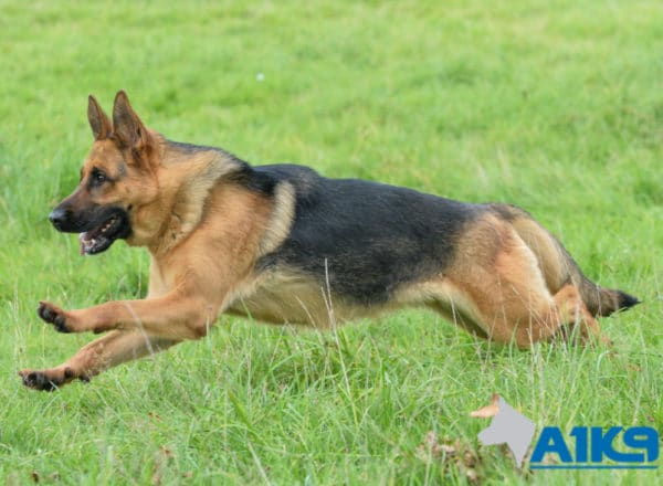 A1K9 Family Protection Dog Honey Run 4890