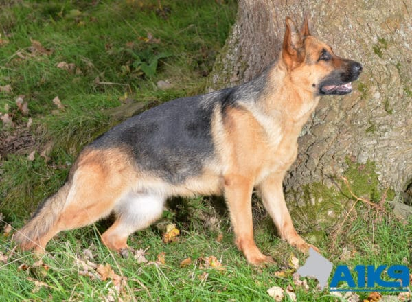 A1K9 Family Protection Dog Honey Stand 4790