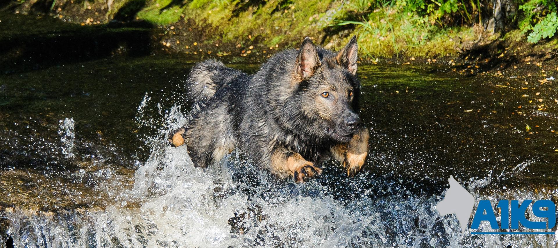 Family & Personal Protection Dogs For Sale | A1K9® | UK