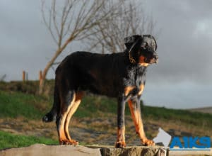 Beauceron Training at A1K9