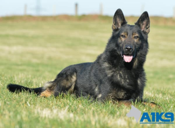 A1K9-Family Protection Dog Down