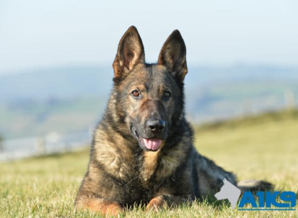 A1K9 Family Protection Dog Ozzy Down