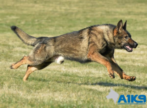 A1K9 Family Protection Dog Ozzy Run