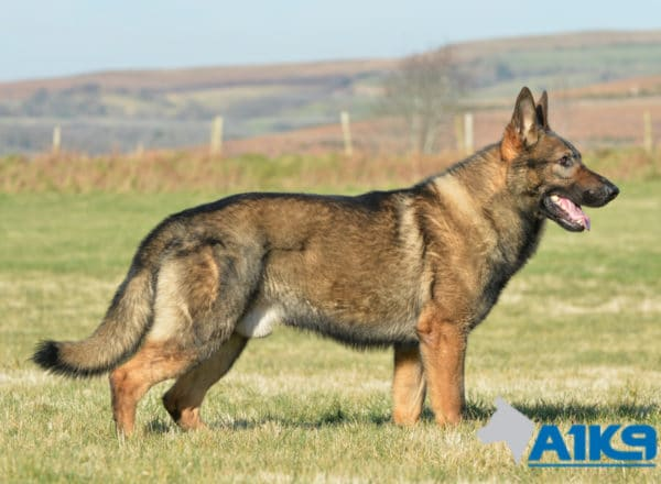 A1K9 Family Protection Dog Ozzy Stand