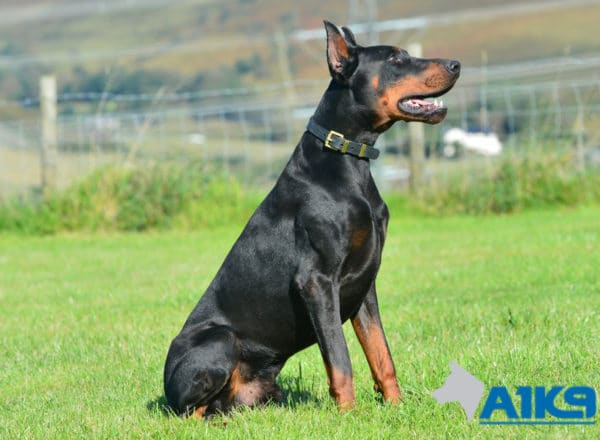 A1K9 Family Protection Dog Blaze Dobermann