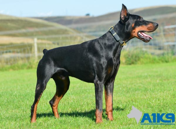 A1K9 Family Protection Dog Blaze Dobermann Stand