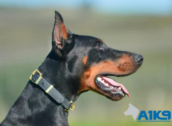 A1K9 Family Protection Dog Blaze Head