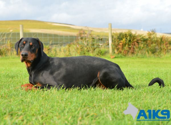 A1K9 Trained Obdedient Pet Dobermann Monty