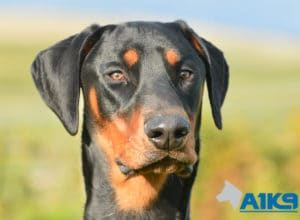A1K9 Trained Obedient Pet Dobermann Monty Head