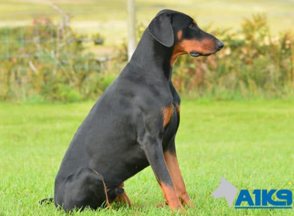 A1K9 Trained Obedient Pet Dobermann Monty Sit