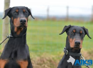 A1K9 Residential Obedience Training Dobermanns