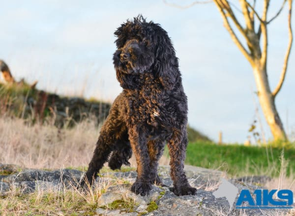 A1K9 Cockapoo Trained Pet Obedient Pet Buster Stand