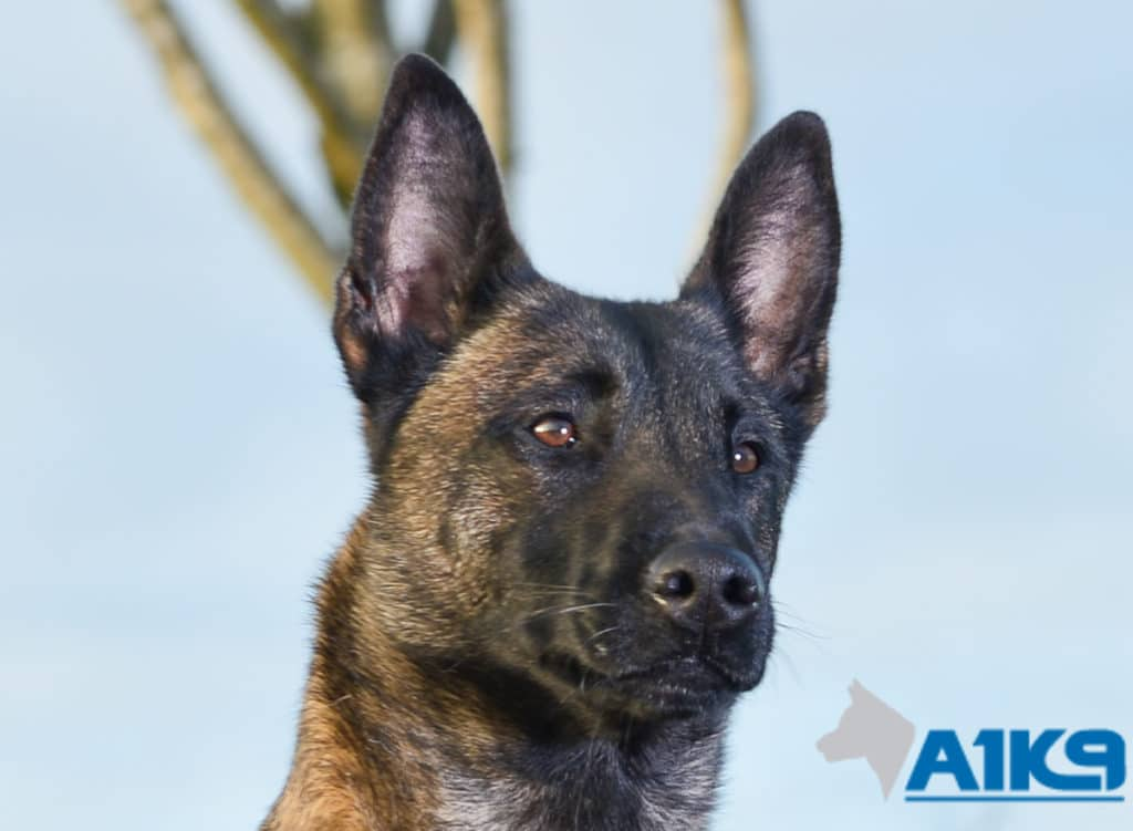 A1K9 Family Protection Dog Angel Head